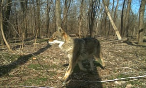 A coyote in the Bronx, New York City.