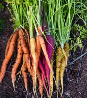 bunch of organic carrots laying on fertile soil at a home garden