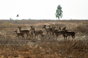 A group of endangered Eld's deer in the Shwe Settaw nature reserve in Magway region, Myanmar