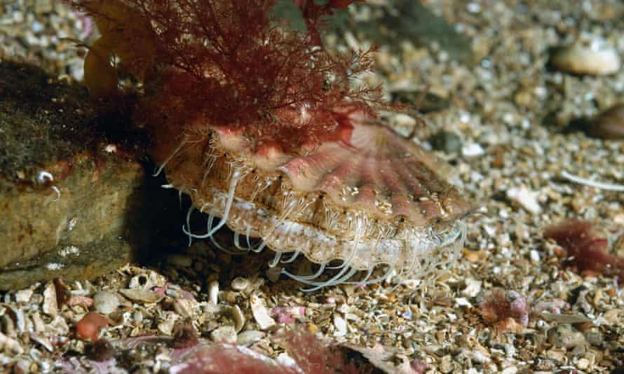 A scallop on the seabed. Dredging the ocean floor rips up not only scallops, but much of the life and structure of the seabed