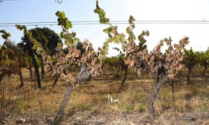 Vines burnt and dried out by the heatwave in France