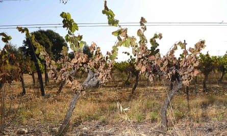 Vines badly burnt by the sun and heat in a vineyard in Sussargues, southern France, at the end of June.