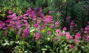 Candelabra primulas (Primula pulverulenta)