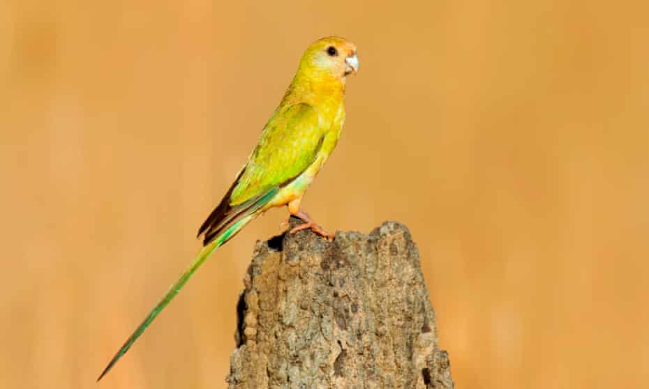 The numbers of golden-shouldered parrot in Queensland have dramatically faltered in recent decades.