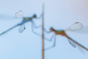 """Ross Hoddinott, close to nature category winner: Wing tips, Broxwater, Cornwall """"I'm always looking to capture less conventional close-ups – maybe through creative lighting, use of depth of field or my choice of focus. With this image, I wanted to place the emphasis on the delicacy and design of the damselfly's wings, so carefully placed my focus on the wingtips. This type of shot is very Marmite – you'll either love it or hate it!"""""""