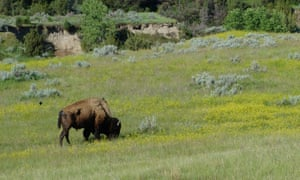 Grazing happily at Theodore Roosevelt national park