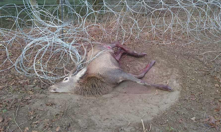 A dead deer on a campsite in Radenci in Slovenia