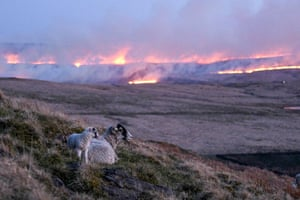 Huddersfield, UK  Sheep climb on a hillside as flames from a moor fire are seen in the distance