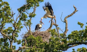 White storks at a nest where the first chicks have hatched.
