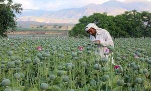 A poppy farmer in Nangarhar province.