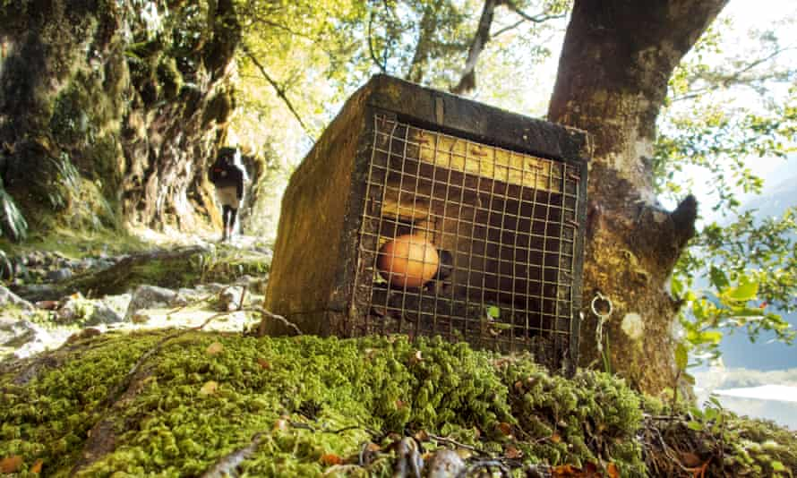 A range of pest control methods are used in New Zealand, such as this stoat trap