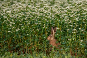 A hare sits in a buckwheat field at twilight near Herrnleis, Austria