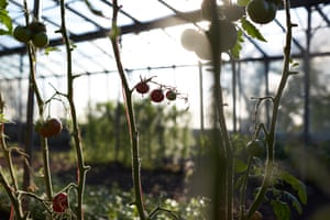 Fruits growing in the Fern Verrow greenhouse. The Farm is managed using biodynamic methods, which originated from a series of lectures given in 1924 by the great Austrian thinker, Rudolf Steiner (1861-1925).