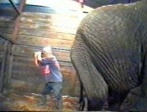 A video still from a report by the charity Animal Defenders that was shown during the trial of Circus trainer Mary Chipperfield, who was convicted in 1999 on 12 counts of animal cruelty.
