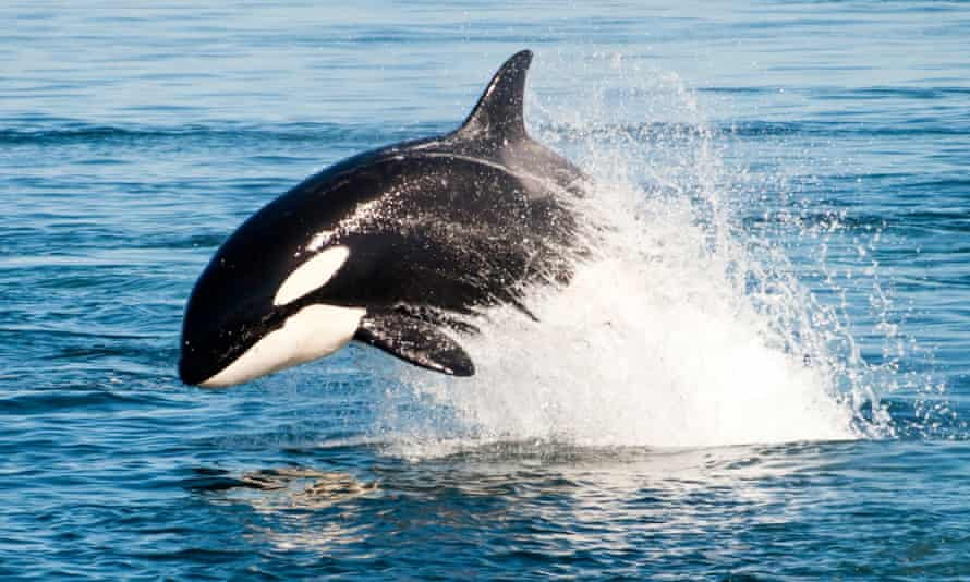 Granny, the century-old orca now missing, presumed dead, stopped reproducing 40 years ago.