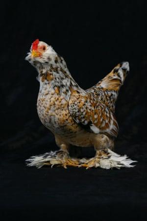 An 18-month-old bantam cock