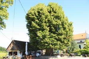 Large-leaved linden (Tilia platyphyllos), Gornja Stubica, Croatia
