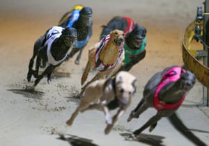 Greyhound dogs race at the Wentworth Park stadium in Sydney