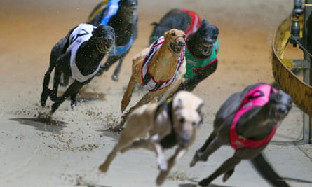 Greyhound dogs race at the Wentworth Park stadium in Sydney.