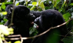Endangered mountain gorillas in Bwindi Impenetrable national park.