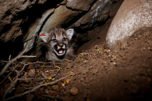 Researchers discovered a litter of four mountain lion kittens in the Simi Hills.