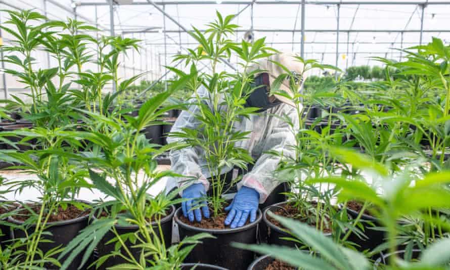 A worker at a legal medical marijuana farm in Lod, Israel.
