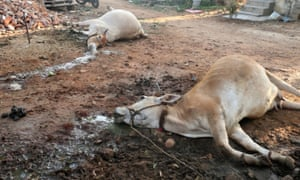 Cattle killed by the gas leak at the LG Polymers Plant in Visakhapatnam.