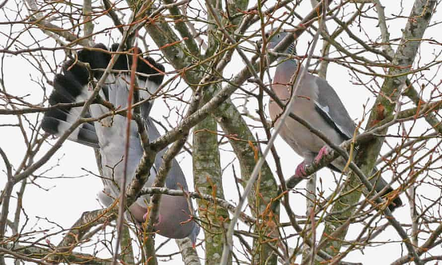 Two pigeons in a tree, one perched upside down
