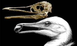toothed seagull. Caption: CT-scan-based skull restoration and life reconstruction of the toothed stem bird Ichthyornis dispar showing that the first form of the avian beak was a precision pincer-tip probably used for fine manipulation.