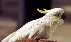 A cockatoo