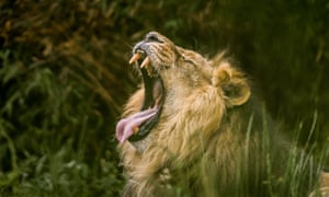 Adapt to survive … Iblis the Asiatic lion in The Secret Life of the Zoo.