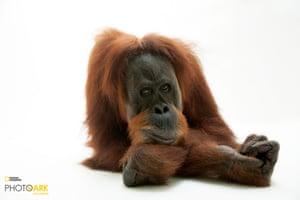 Sumatran orangutan (Pongo abelii)