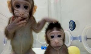 Cloned monkeys Zhong Zhong and Hua Hua