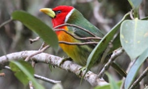 Red-headed Barbet (Eubucco bourcierii).
