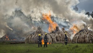 Firemen stand by as pyres of ivory are set on fire