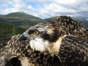 Loch Arkaig pine forest, Scottish highlands: One of the two male and one female osprey chicks that hatched five weeks ago