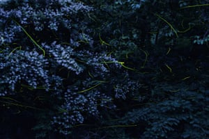 Firefly lights amid lilac-coloured flowers