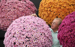 An exhibitor adjusts his chrysanthemums during preparations for the opening day