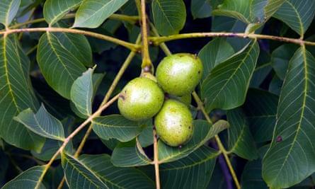 Common walnut (Juglans regia).