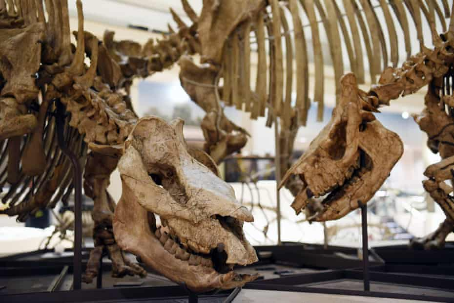 A Menoceras, a double-horned rhinoceros (right) and a Teleoceras, a Hippopotamus-like rhinoceros, in the new fossil hall.