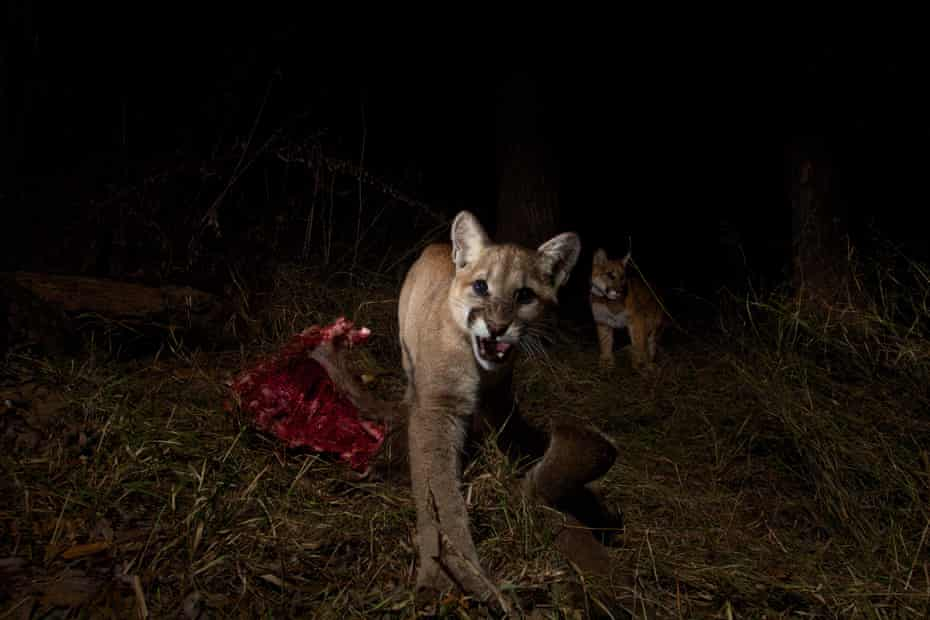 The remote camera captures a mother, P-13, and her 10-month-old kittens in Malibu Creek State Park.