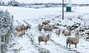 A flock of sheep brave the cold in the Peak District earlier in December.
