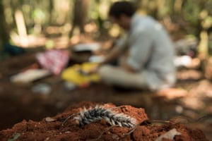 Caterpillars drop regularly, like this one on the soil of the test pit. All the test pits were completely filled in, with the original ground on top set aside and then painstakingly replaced in order to return the forest to it's original condition. By measuring forest type, cover, density and depth, the team hopes to solve mysteries like the age of Lico's forest. Tropical rainforests store more carbon than any other vegetation on Earth, and the survey here will become part of a global census of carbon, eventually used by the UNFCC to drive international climate policy.