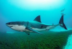 A great white shark swimming in Australia.