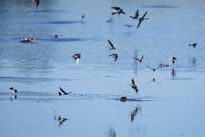A flock of house martins feed on insects on the Pevensey Levels, East Sussex, UK
