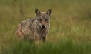 Scandinavian wolf