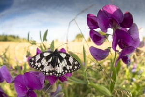 A marbled white butterfly warms itself in the early morning sun on a sweetpea plant in Blow's Down reserve in Dunstable, Bedfordshire. It is a 33.1 hectare biological site of special scientific interest. A new study shows that biodiversity is greater inside protected areas.