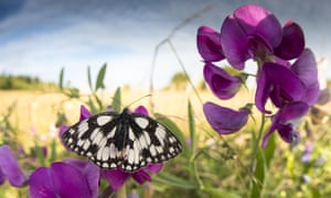 A marbled white butterfly, near Dunstable in Bedfordshire