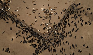 Beef cattle stand at a ranch in this aerial photograph taken above Texas, US.