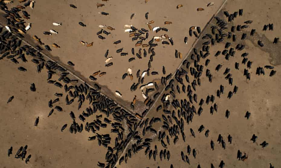 Aerial picture of beef cattle in a field